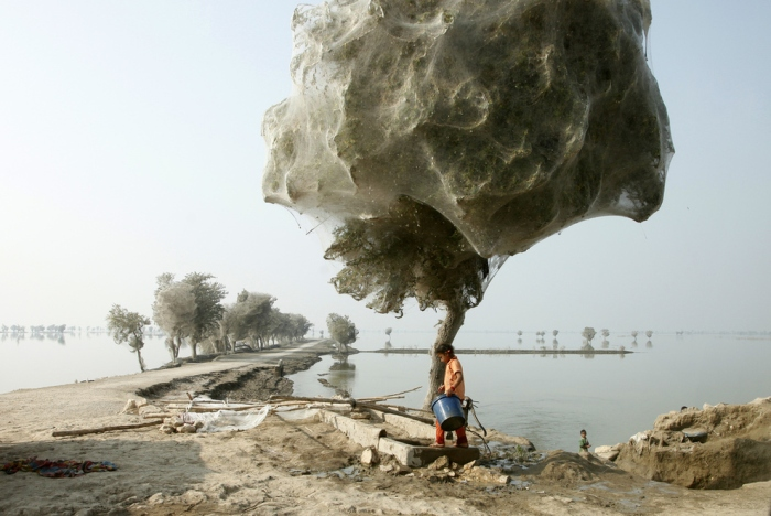 Spiderweb cocooned trees in Pakistan