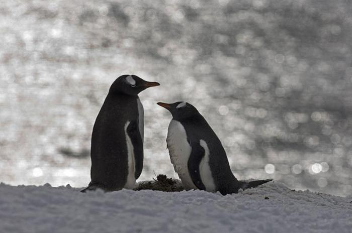 Wonderful penguins by David Tipling