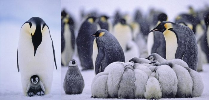 wonderful penguin photographs by david tipling