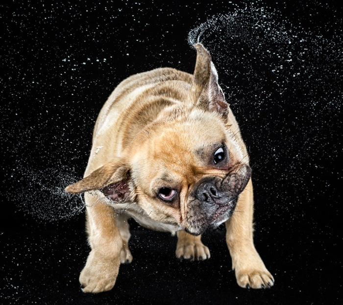 Hilarious High-Speed Photographs of Dogs Shaking by Carli Davidson