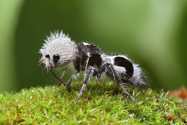 Panda Ant Bizzare Animal Creatures That Actually Exist Cat in water