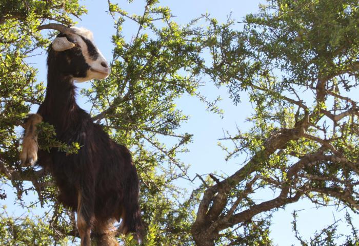 Tree-Climbing Goats of Morocco